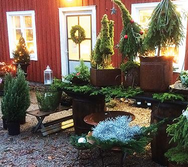Granar vintergront Lundens Vaxthus träffas plantera